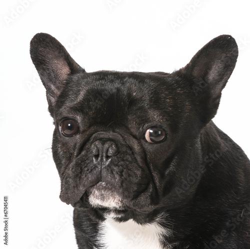 Deurstickers Franse bulldog french bulldog