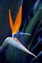 Paradiesvogelblume – Strelitzie – Hoch