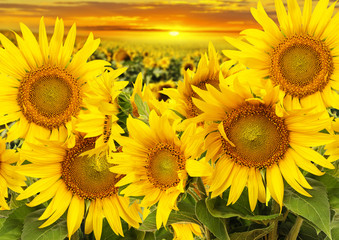 Fototapetasunflowers on a field and sunset