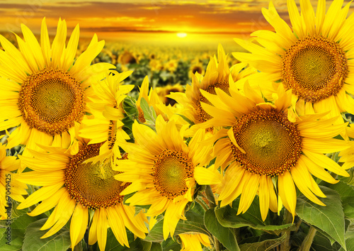 sunflowers on a field and sunset - 67049425