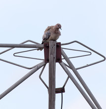Dove On The Antenna