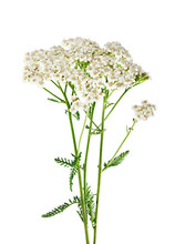 Yarrow Plant Closeup Isolated On White Background. Medicinal Pla