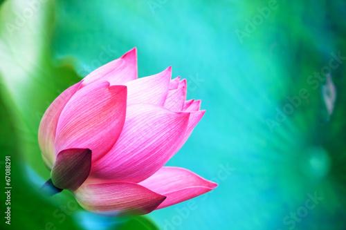Foto op Canvas Lotusbloem beautiful pink waterlily or lotus flower in pond