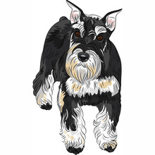 Vector Dog Breed Miniature Schnauzer Black And Silver Color