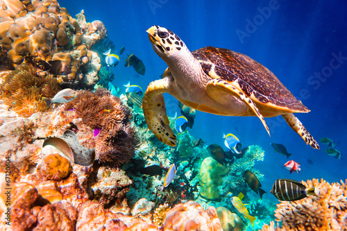 Photo  Hawksbill Turtle - Eretmochelys imbricata