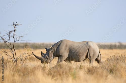 Canvas-taulu Black rhino in the Etosha National Park