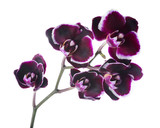 Fototapeta Orchid - Branch of blooming beautiful  dark cherry with white rim orchid,