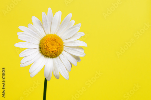 Poster de jardin Marguerites Daisy flower on yellow background
