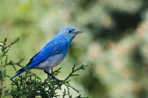 Fényképezés Mountain Bluebird Perched in a Tree