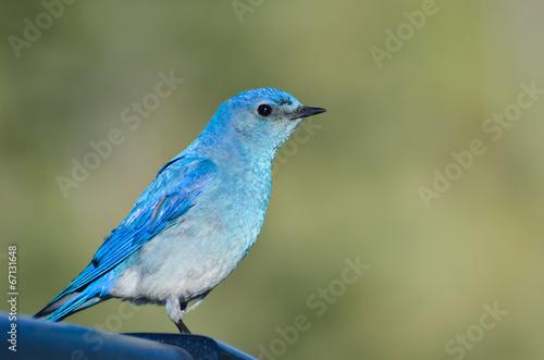 Valokuvatapetti Profile of a Mountain Bluebird