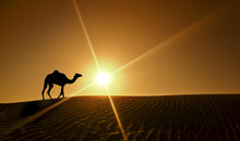 Silhouette Of A Camel Walking ...