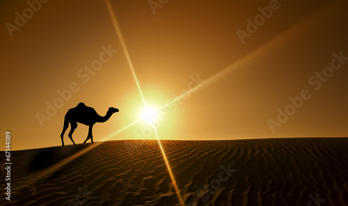 Tuinposter Kameel Silhouette of a camel walking alone in the Dubai desert