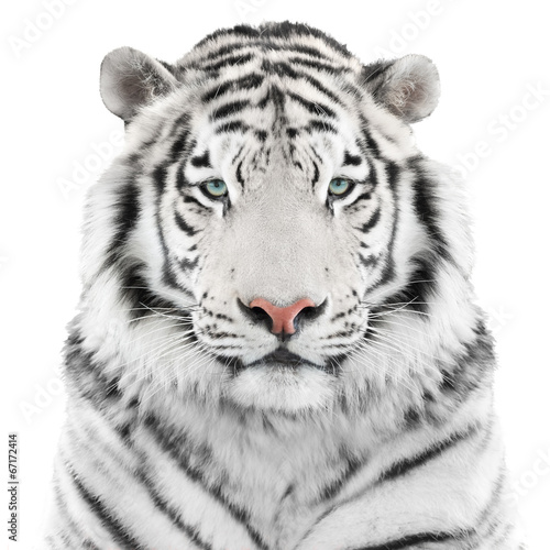 Poster Tijger Isolated white tiger