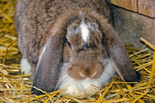 Lop Eared Rabbit In Straw