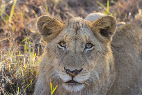 Deurstickers Luipaard Portrait of a young lion lying in the grass