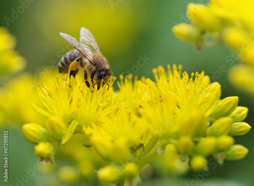 Fotografie, Obraz  Bee on yellow flower