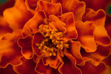 Abstract floral background. Marigold flower macro.