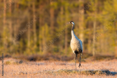 Crane on a spring morning in the swamp
