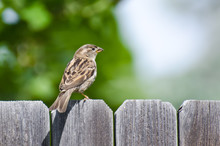 House Sparrow Resting On The B...