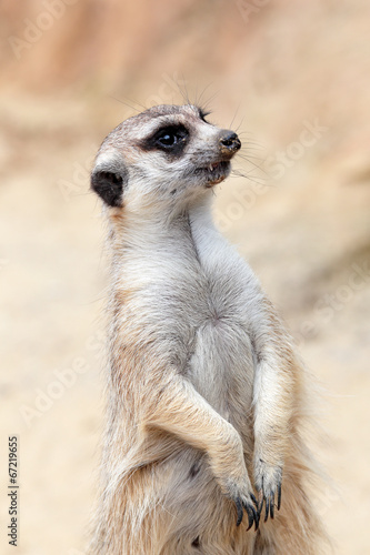 Photo  A meerkat looking around