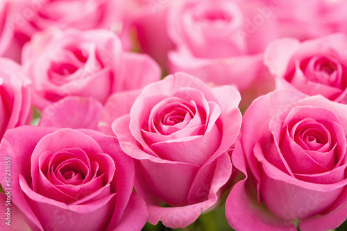 beautiful pink rose flowers background Poster