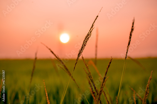 Poster Corail Flowering grasses waving under the twilight time
