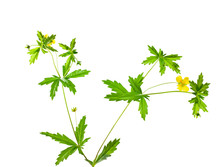 Cinquefoil Herb On White Backg...