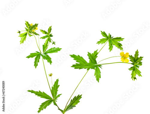 Foto  cinquefoil herb on white background