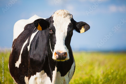Close up Cow at countryside in spring