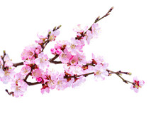 Spring Flowering With Apricot Branch