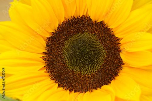 Acrylic Prints Sunflower Zonnebloem met mooi hart