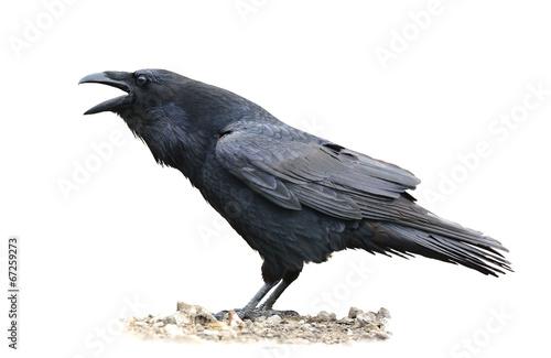Slika na platnu Raven Screaming on White Background