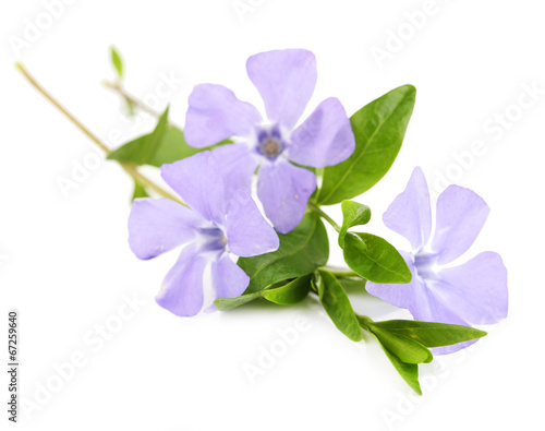 Fotomural Beautiful periwinkle flowers, isolated on white
