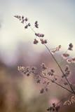 Zbliżenie dzikiej trawy ucho na zamazanym natury tle - 67263685