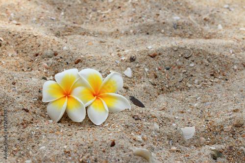 frangipani-bialy-kwiat-na-piasku