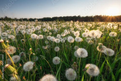 dandelion field at sunset Canvas Print