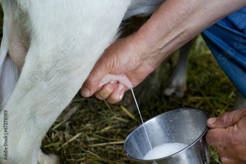 Fotografía Milking goat