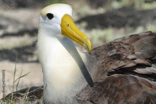 Fotografia, Obraz  Waved albatross (Phoebastria irrorata)