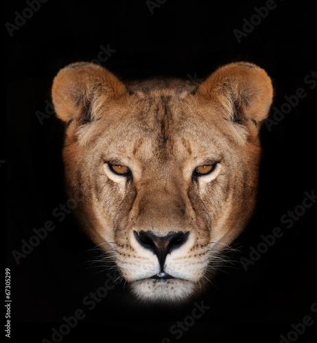 Staande foto Leeuw Beautiful lion on a black background.