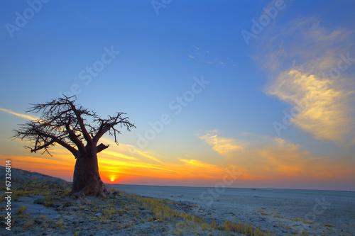 Poster Baobab Lone Baobab sunset