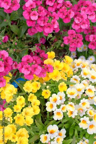 Colorful namesia flowers(Nemesia strumosa) Canvas Print