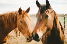 Two Chestnut Horses