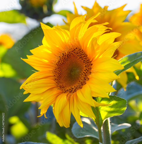 sunflowers - 67363622
