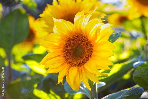 Foto op Aluminium Oranje sunflowers