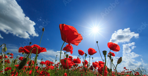 Poster Poppy Field of wild red poppies on a sunny summer day