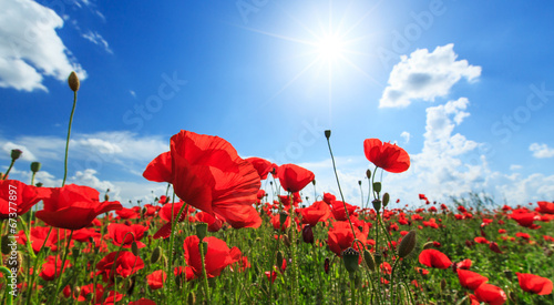 Field of wild red poppies on a sunny summer day - 67377897