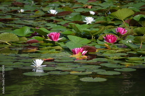 Photo Stands Water lilies 睡蓮