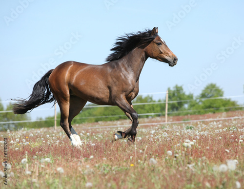 Foto op Canvas Paarden Amazing brown sport pony running on pasturage