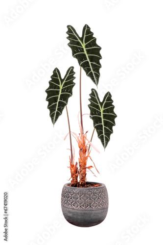 kwiat-w-doniczce-alocasia-sanderiana