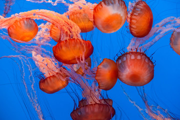 Fototapeta Sea Nettle Jellyfish background